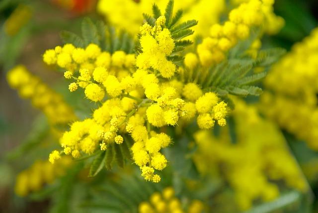 mimosa-grasse-verdens-parfumehovedstad