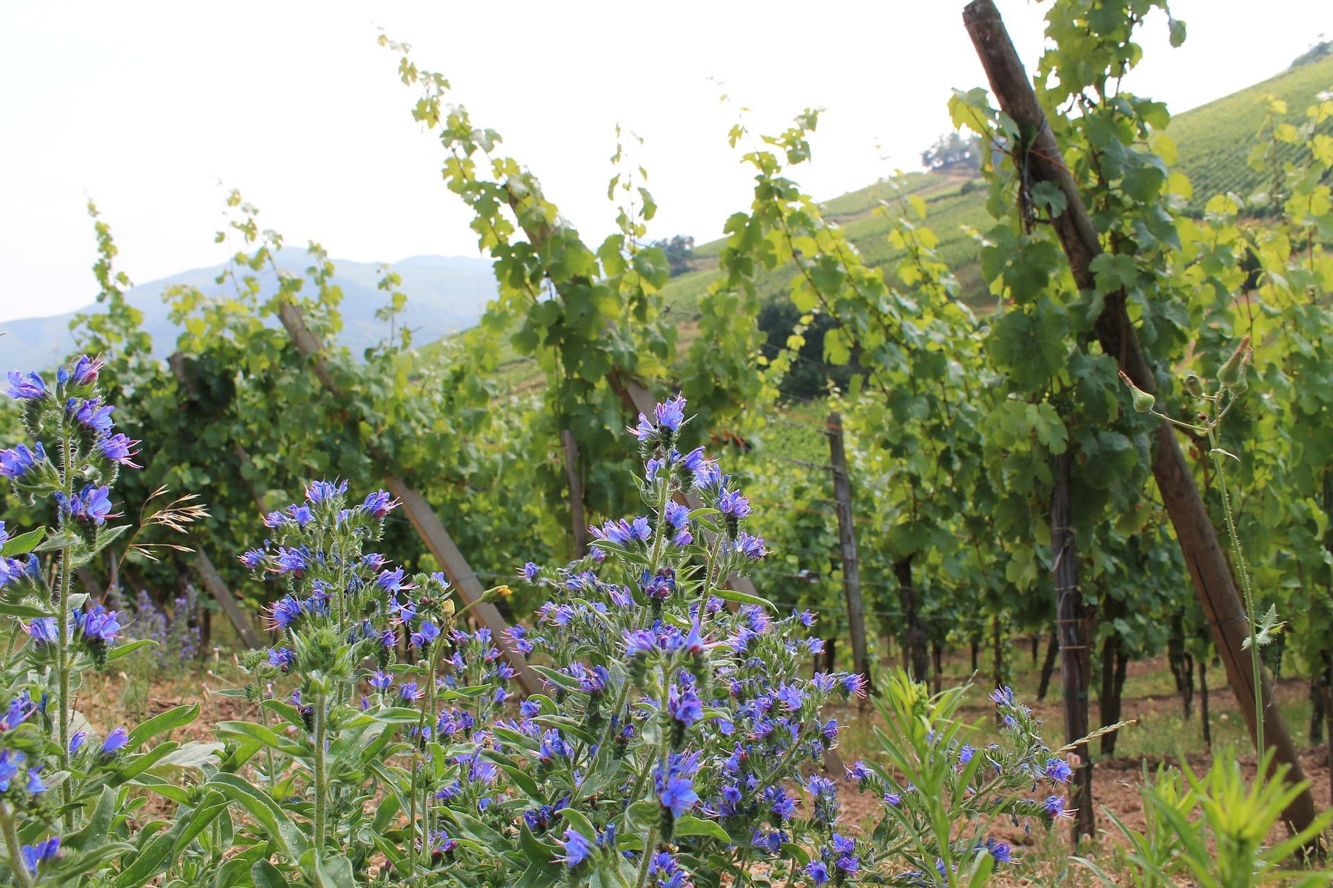 Alsace vinstokke
